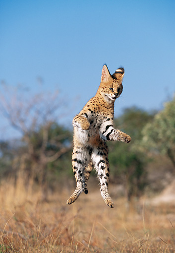 SER 01 MH0004 01 © Kimball Stock Serval Leaping Into Air On Savanna South Africa