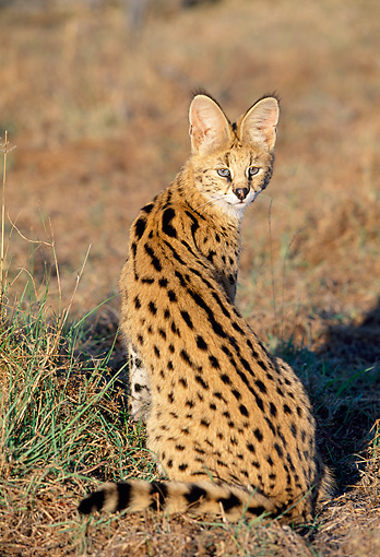 SER 01 MH0005 01 © Kimball Stock Serval Sitting On Savanna Looking Back South Africa