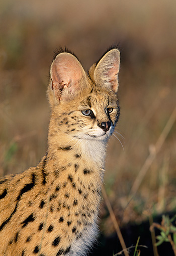 SER 01 MH0006 01 © Kimball Stock Portrait Of Serval Sitting On Savanna Africa
