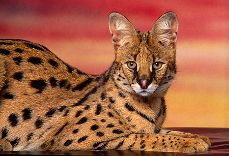SER 01 RK0013 04 © Kimball Stock Close Up Shot Of Serval Laying Down Sideways Facing Camera Sunset Background