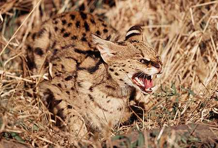 SER 01 RK0017 03 © Kimball Stock Serval Laying In Tall Dry Grass Snarling