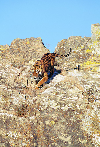 TGR 01 GL0009 01 © Kimball Stock Bengal Tiger Running Down Cliffside