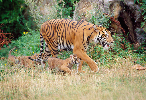 TGR 01 GL0010 01 © Kimball Stock Tiger Walking Through Grass With Three Cubs