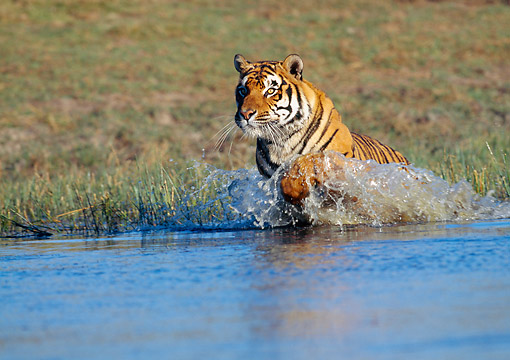 TGR 01 GL0015 01 © Kimball Stock Bengal Tiger Running Through Water