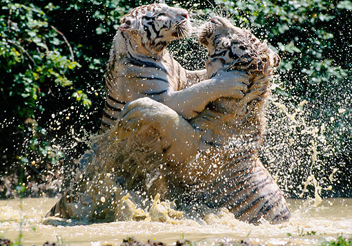 TGR 01 GL0016 01 © Kimball Stock Two Tigers Fighting In Water