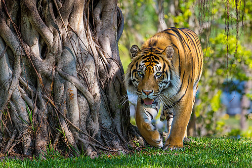 TGR 01 KH0001 01 © Kimball Stock Bengal Tiger Walking Around A Banyan Tree In India