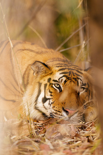 TGR 01 MC0001 01 © Kimball Stock Portrait Of Bengal Tiger Bandhavgarh National Park In Madhya Pradesh, India