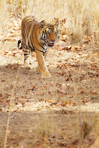 TGR 01 MC0004 01 © Kimball Stock Bengal Tiger Walking In Kanha National Park, India