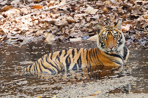 TGR 01 MC0008 01 © Kimball Stock Young Bengal Tiger Swimming In Bandhavgarh National Park, India