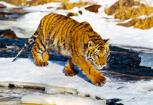 TGR 01 RK0148 07 © Kimball Stock Bengal Tiger Walking On Snow By Rocks And Water