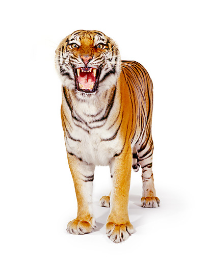 TGR 01 RK0197 12 © Kimball Stock Bengal Tiger Maleigh Standing On White Box Facing Camera Growling On White Seamless