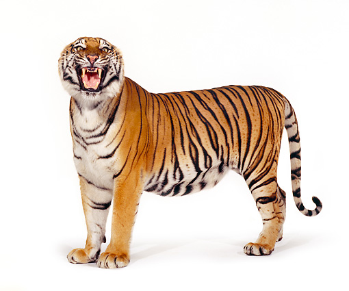 TGR 01 RK0198 05 © Kimball Stock Bengal Tiger Standing Growling On White Seamless