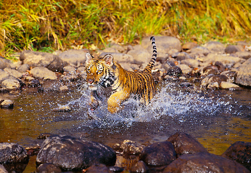 TGR 01 RK0205 01 © Kimball Stock Bengal Tiger Cub Running Through Water