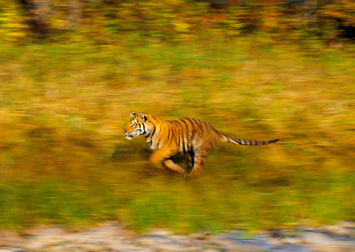 TGR 01 RK0217 01 © Kimball Stock Profile Of Bengal Tiger Running On Through Grass Blurry Background