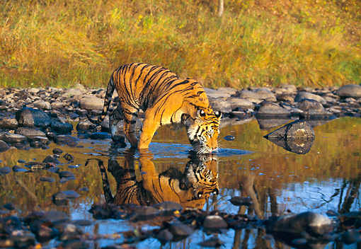 TGR 01 RK0239 02 © Kimball Stock Bengal Tiger Standing In Water Drinking By Rocks Tall Grass Background