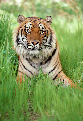TGR 01 RK0359 04 © Kimball Stock Head Shot Of Bengal Tiger Laying In Tall Grass Facing Camera
