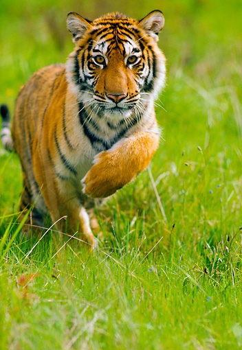 TGR 01 RK0365 01 © Kimball Stock Bengal Tiger Running On Grass Towards Camera