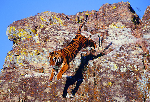 TGR 01 RK0421 04 © Kimball Stock Bengal Tiger Leaping Off Rocks Blue Sky