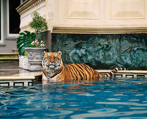 TGR 01 RK0461 11 © Kimball Stock Tiger Laying In Pool