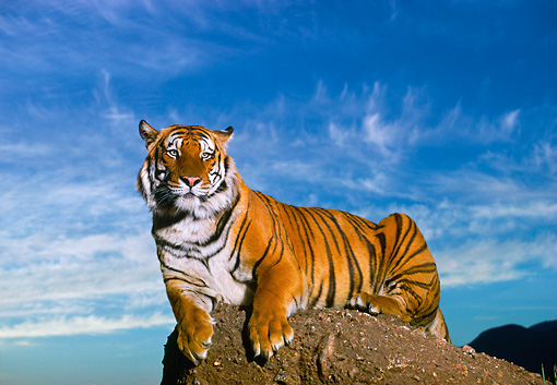 TGR 01 RK0480 03 © Kimball Stock Bengal Tiger Laying On Top Of Rock Cloudy Blue Sky
