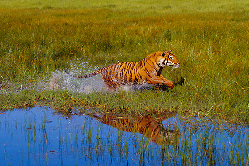 TGR 01 RK0496 31 © Kimball Stock Bengal Tiger Running In Marsh