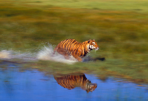 TGR 01 RK0496 35 © Kimball Stock Bengal Tiger Running In Marsh