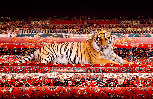 TGR 01 RK0534 31 © Kimball Stock Bengal Tiger Laying On Oriental Rugs
