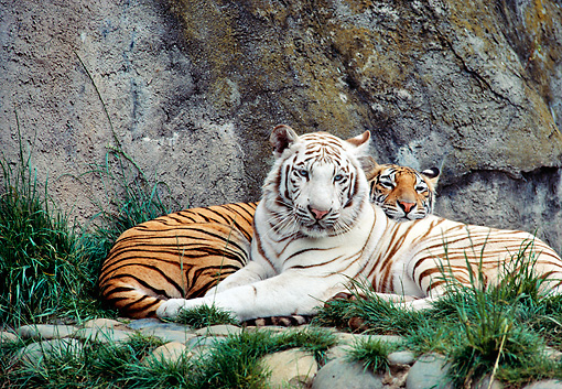 TGR 01 RK0669 01 © Kimball Stock Copper And White Tiger Laying Together Against Rock