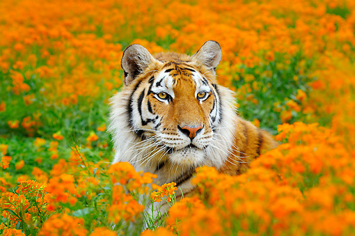 TGR 01 TL0005 01 © Kimball Stock Bengal Tiger Laying In Field Of Orange Flowers