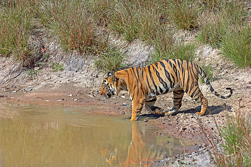 TGR 01 WF0001 01 © Kimball Stock Bengal Tiger Male Entering Watering Hold To Drink