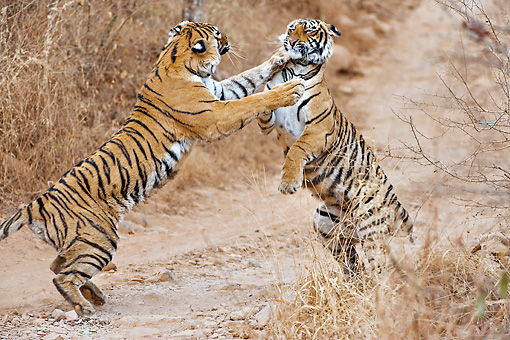 TGR 01 WF0010 01 © Kimball Stock Adult Female Bengal Tiger Fighting With Young Tiger