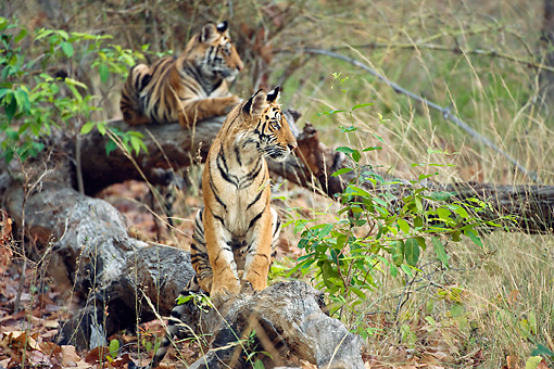TGR 01 WF0011 01 © Kimball Stock Bengal Tiger Cubs In Forest Waiting For Mother