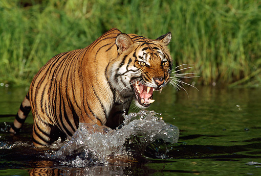 TGR 01 LS0002 01 © Kimball Stock Bengal Tiger Growling And Wading In Shallow Water Along Bank