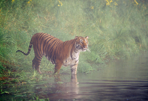 TGR 01 LS0004 01 © Kimball Stock Tiger Wading Into Water In Mist