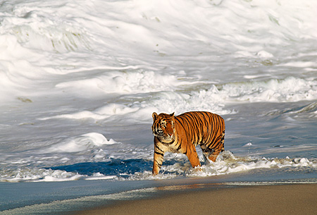 TGR 01 RK0008 02 © Kimball Stock Bengal Tiger Walking In Surf