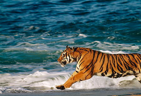 TGR 01 RK0011 11 © Kimball Stock Bengal Tiger Running On Beach