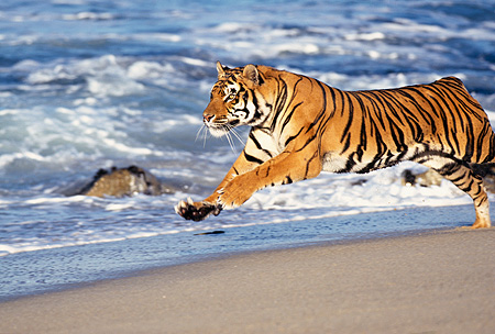 TGR 01 RK0012 18 © Kimball Stock Bengal Tiger Running On Wet Sand By Rocks