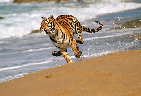 TGR 01 RK0013 03 © Kimball Stock Bengal Tiger Running On Wet Sand Off Shore