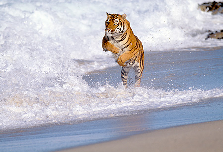 TGR 01 RK0027 02 © Kimball Stock Bengal Tiger Running And Jumping Over Waves On Wet Sand