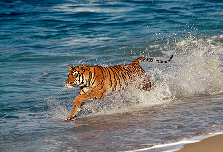 TGR 01 RK0037 08 © Kimball Stock Bengal Tiger Running In Surf Along Beach