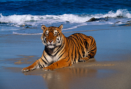 Bengal Tiger Laying On Beach | Kimballstock