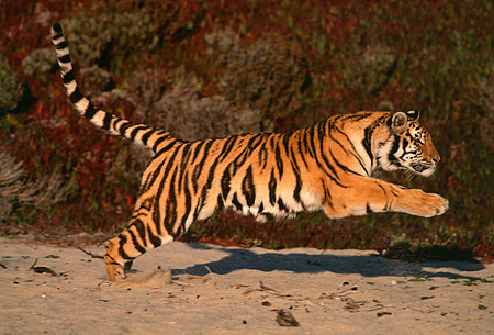 TGR 01 RK0070 01 © Kimball Stock Full Body Shot Of Bengal Tiger Running On Sand By Foliage