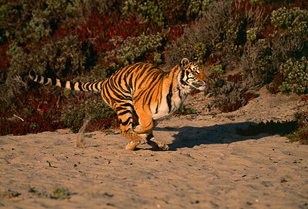 TGR 01 RK0070 04 © Kimball Stock Full Body Shot Of Bengal Tiger Running On Sand By Foliage