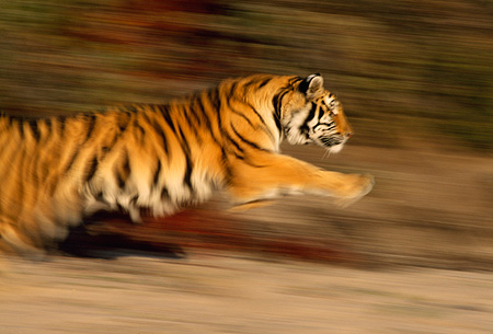 TGR 01 RK0079 02 © Kimball Stock Bengal Tiger Running On Sand By Plants Blurry Shot