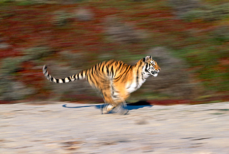 TGR 01 RK0079 13 © Kimball Stock Bengal Tiger Running On Sand By Plants Blurry Shot