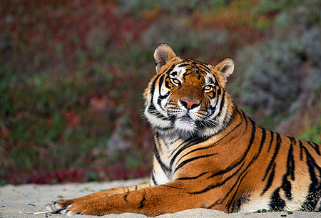 TGR 01 RK0080 10 © Kimball Stock Shoulder Shot Of Bengal Tiger Laying On Sand Plants In Background