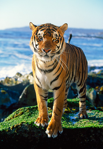 TGR 01 RK0082 11 © Kimball Stock Bengal Tiger Sitting On Moss Covered Rocks Facing Camera Ocean In Background