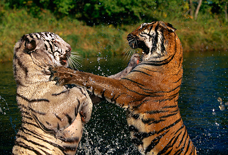 TGR 01 RK0109 05 © Kimball Stock Profile Of Two Bengal Tigers Playing On Hind Feet Splashing Water