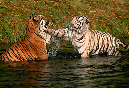 TGR 01 RK0110 15 © Kimball Stock Two Bengal Tigers Playing In Water Jumping On Top Of Each Other Splashing Water Grass Bckgrn