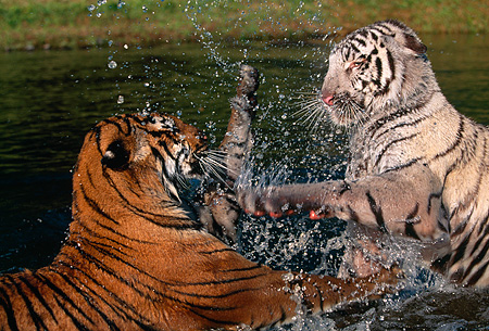 TGR 01 RK0111 03 © Kimball Stock Close Up Of Two Bengal Tigers Playing And Splashing In Water